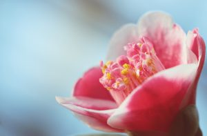 Online Camellia Flowers Delivery-MyFlowerTree