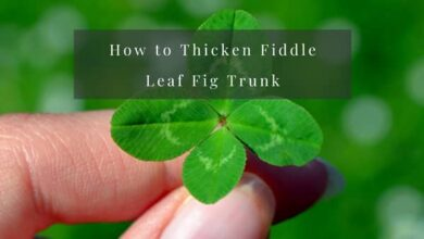 Photo of How to Thicken Fiddle Leaf Fig Trunk