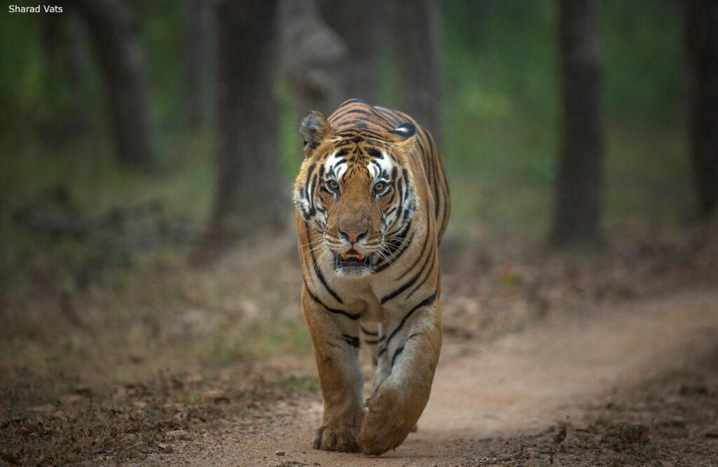 Biggest tiger of Kanha National Park