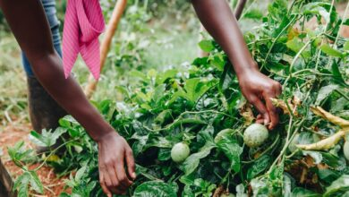 Photo of Africa's Agriculture Projects are Growing Food Inequality