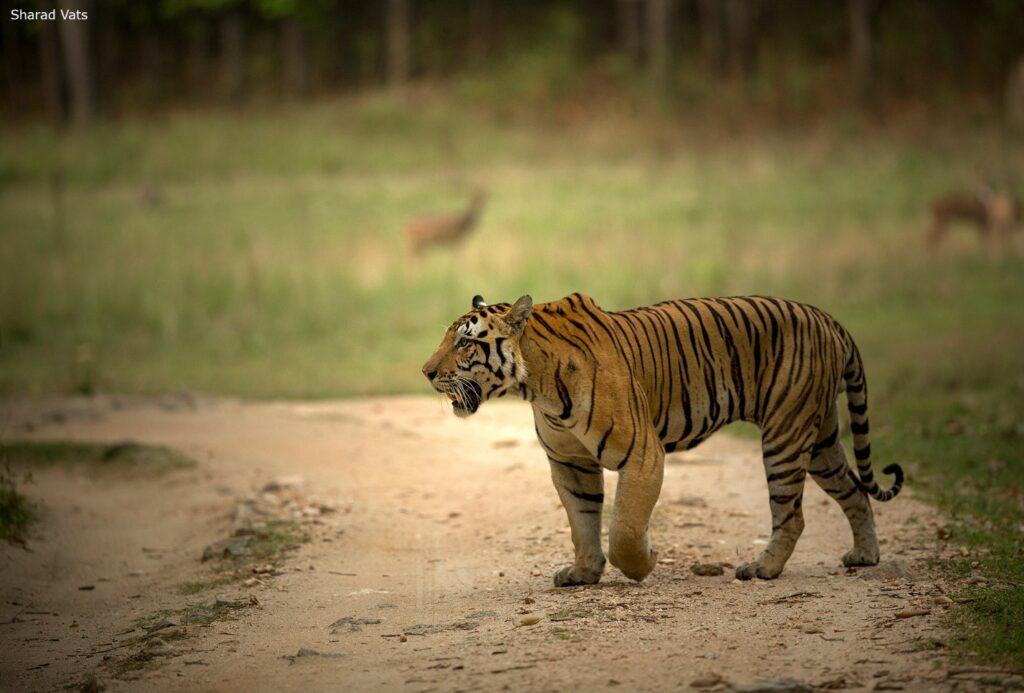 Tiger of Tadoba