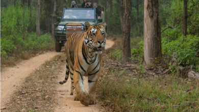 Photo of Top 5 National Parks for Tiger safari in India 2021