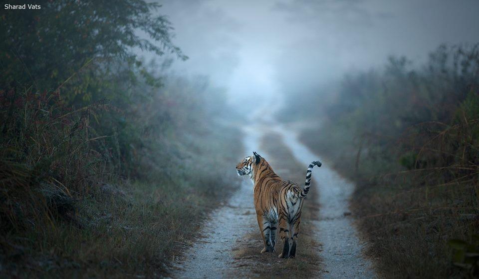 Tiger in Corbett National Park